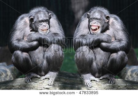 Two chimpanzees have a fun.