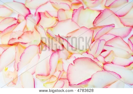 Romantic Background Texture Of Scattered Rose Petals