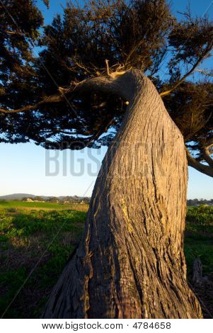 Twisting Pine Trunk