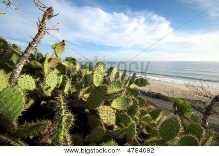 Leo Carillo Cactus