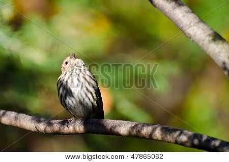 A Pine Siskin Perched in Autumn Colors poster