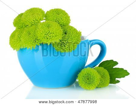Beautiful green chrysanthemum in cup isolated on white