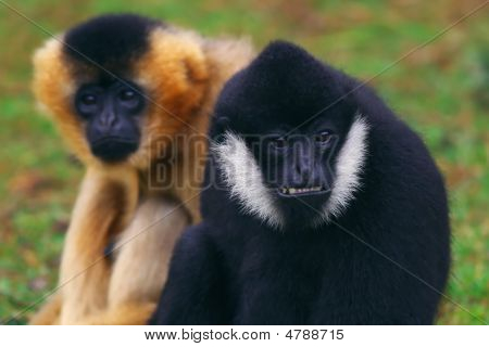Portrait of a female and male White cheeked Gibbon poster