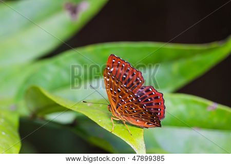 Common Punchinello Butterfly