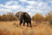 Big elephant at Kruger park South africa poster