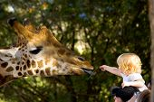 a young child reaching out from her fathers shoulders to feed a giraffe in a zoo. poster