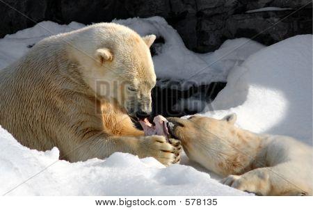 Two polar bears sharing a meaty bone poster