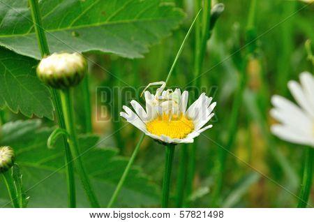 Flower Spider (misumena Vatia)