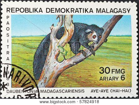 Aye-aye (daubentonia Madagascariensis) Lemur