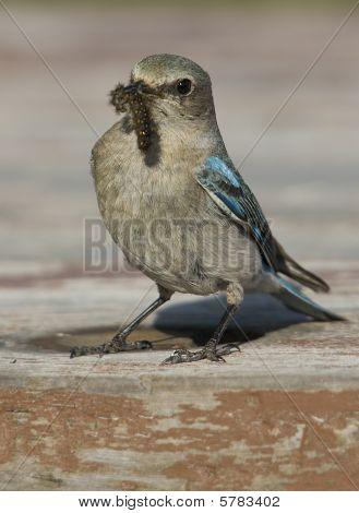 Blue Bird Brining A Grub