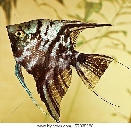 fish pterophyllum scalare
