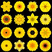 Big Collection of Various Yellow Flowers. Kaleidoscopic Mandala Patterns Isolated on Black Background. Concentric Rose Daisy Primrose Sunflower Carnation Marigold Gerber Dahlia Zinnia Flowers in Yellow colors. poster