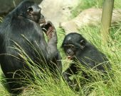 A Mother Bonobo Chimpanzee and Her Baby in the Sunshine poster