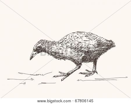Weka flightless bird of New Zealand, Hand drawn vector illustration