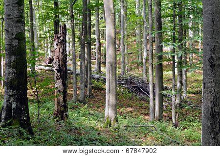 Beech Forest Reserve