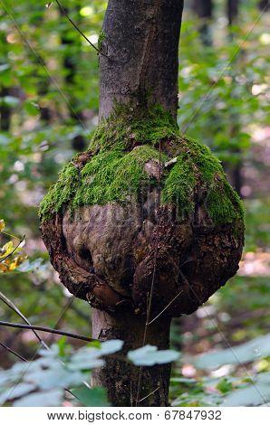 Eutypella canker of sycamore maple (Acer pseudoplatanus)