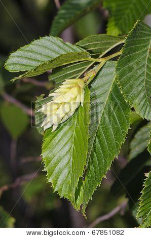 Hop Hornbeam (ostrya Carpinifolia)