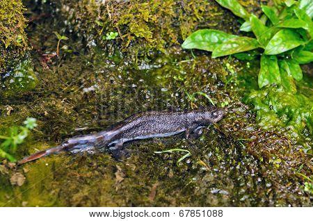 Italian crested newt (Triturus carnifex)