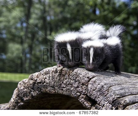 Young skunk pair