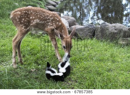 Baby deer with baby skunks
