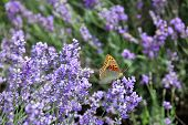 Butterfly on blooming lavender flowers poster