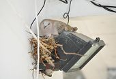 Pigeon nesting on spotlight. Pigeon sits on nest poster