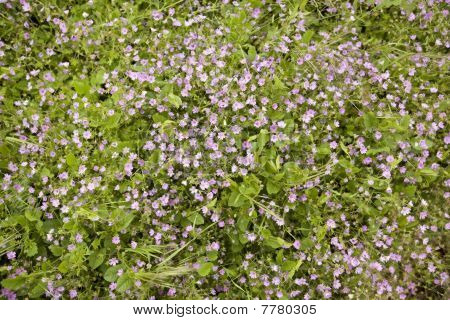 Wild Purple Flowers In A Meadow