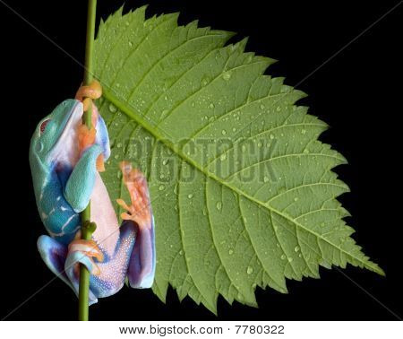 Red-eyed Tree Frog Sleeping On Stem