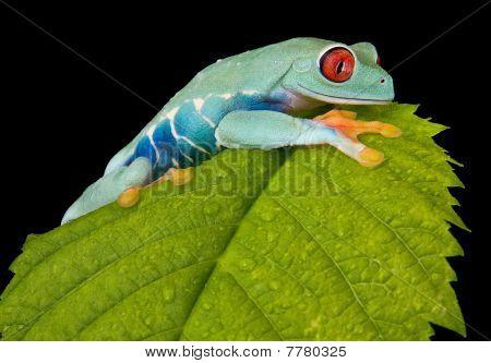 Tree Frog Climbing On Leaf