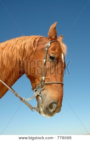 A beautiful chestnut stallion with bridle, looking to the right against a blue sky poster