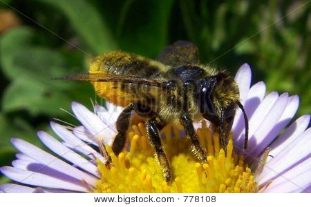 Yellow Belly Bee