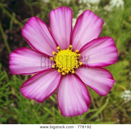Candy Striped Cosmos Flower