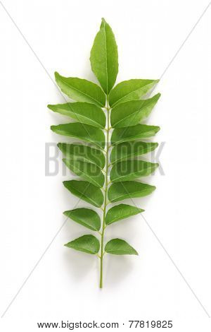 curry leaf, curry tree poster