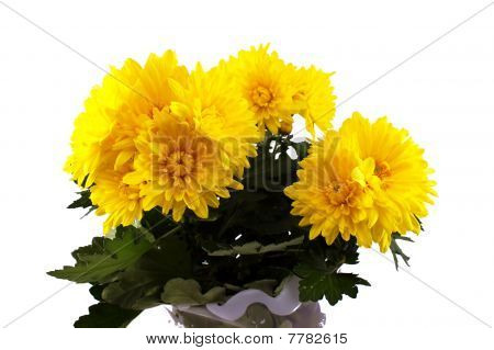 Chrysanthemums on white background