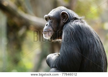 Daydreaming Chimpanzee