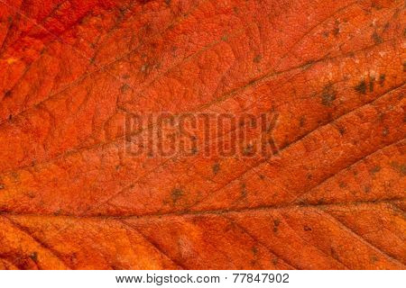 dried strawberry leaf