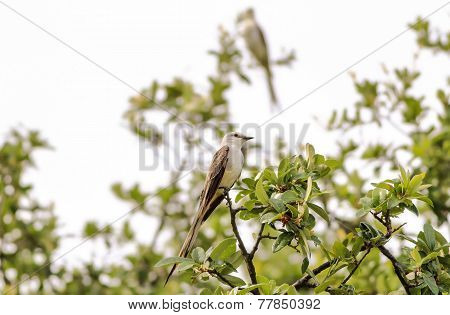Pair of Scissor-tailed Flycatcher (Tyrannus forficatus) perched in live oak tree after rain storm. Selective focus with one bird sharp. poster