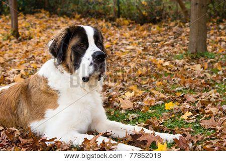Saint Bernard Dog In Autumn