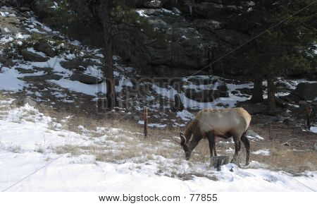 An elk grazes by the side of the road in the Colorado Rockies poster