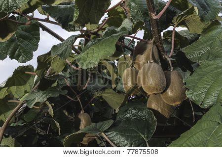 Kiwi Plant. Nature kiwi tree