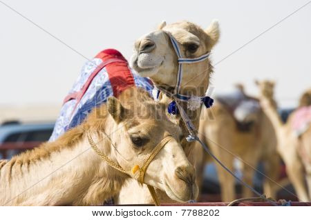 Camels At The Races