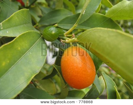tangerine branch
