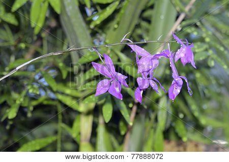 Skinner's Barkeria Orchid
