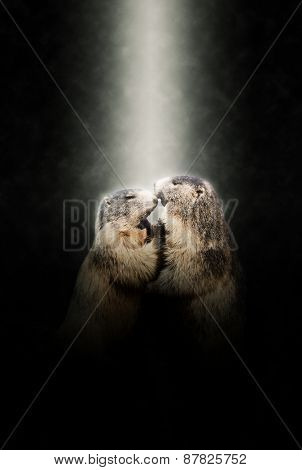 Two Marmots in Love Nuzzling Together Illuminated by Bright Spotlight on Dark Background