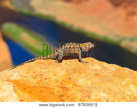 Sagebrush lizard on the rock