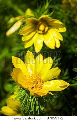 Beautiful Spring Yellow Flowers  Pheasant's Eye