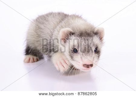 small animal rodent ferret on a white background poster