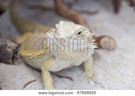 Iguana In The Jungla