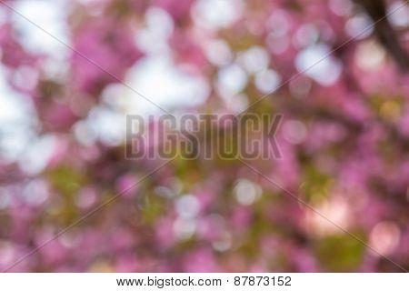 Blur Of Pink Sakura Flowers