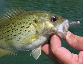 Angler catches rock bass, also called goggle-eye, caught on a small plastic jig poster